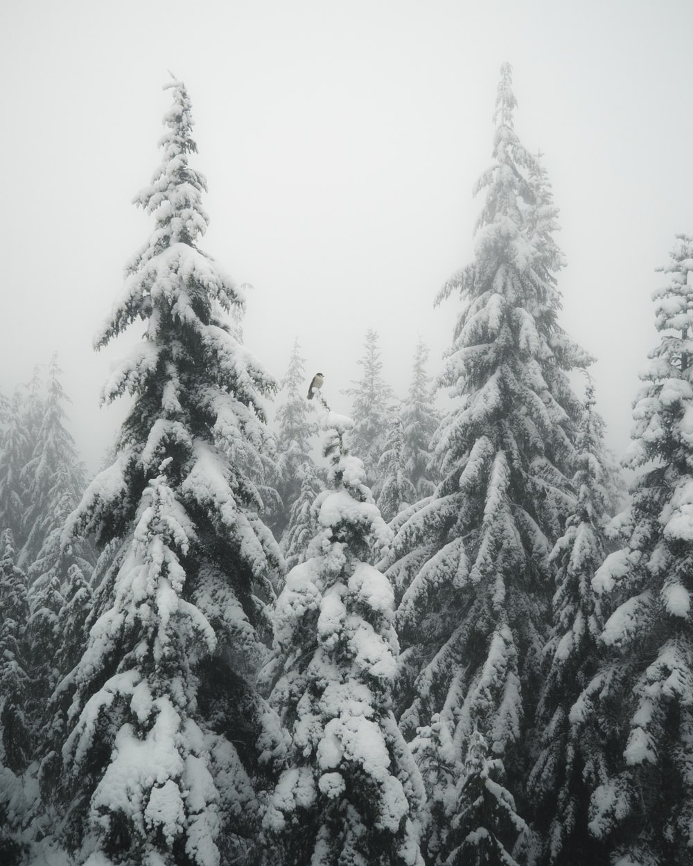 snow coated pin trees
