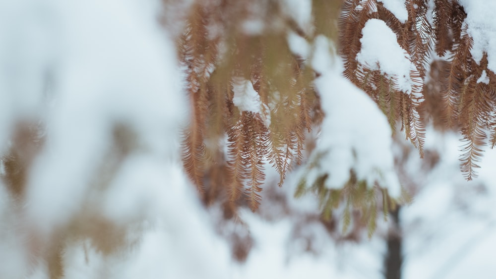 snow-covered brown-leafed plant
