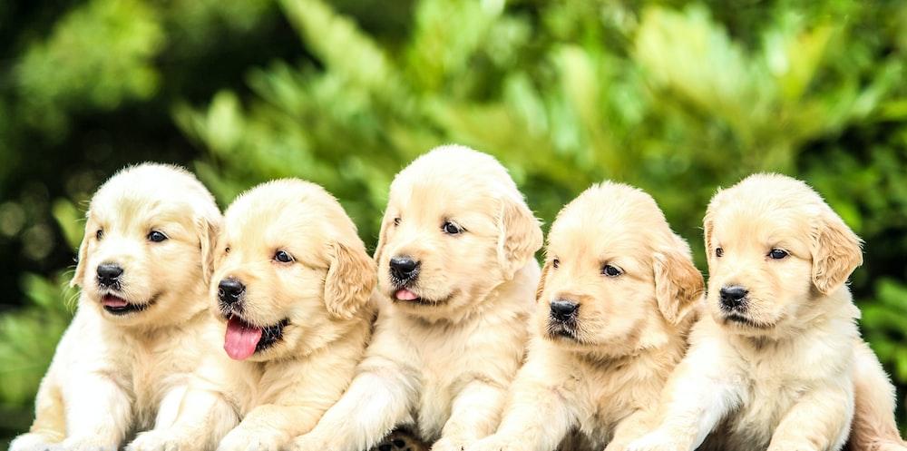 five yellow Labrador retriever puppies