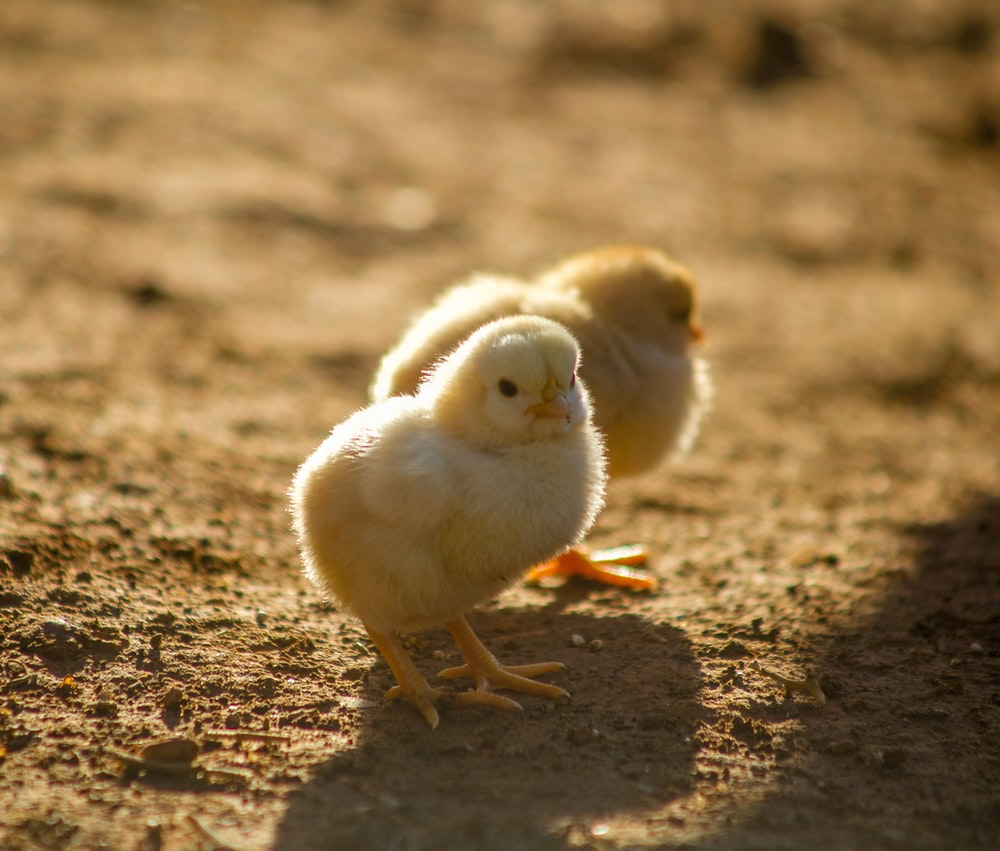 two yellow chicks on ground