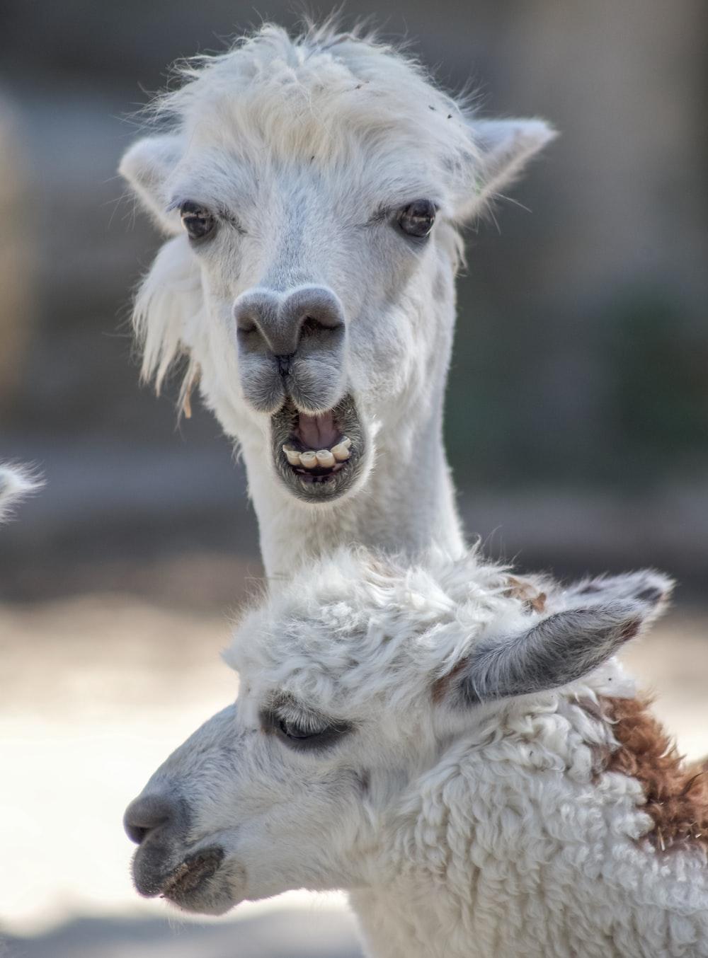 two white alpacas