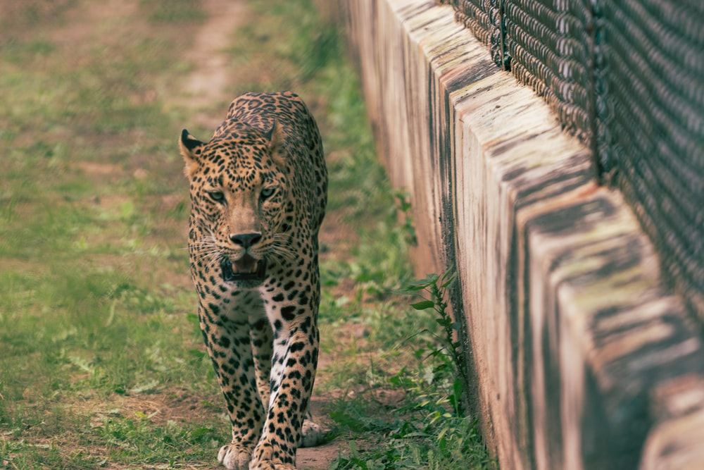 selective focus photography of leopard walking beside fence