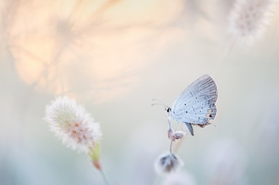 An Eastern Tailed-blue sits on a small plant in a very light colored field as the sun sets in the sky behind it.