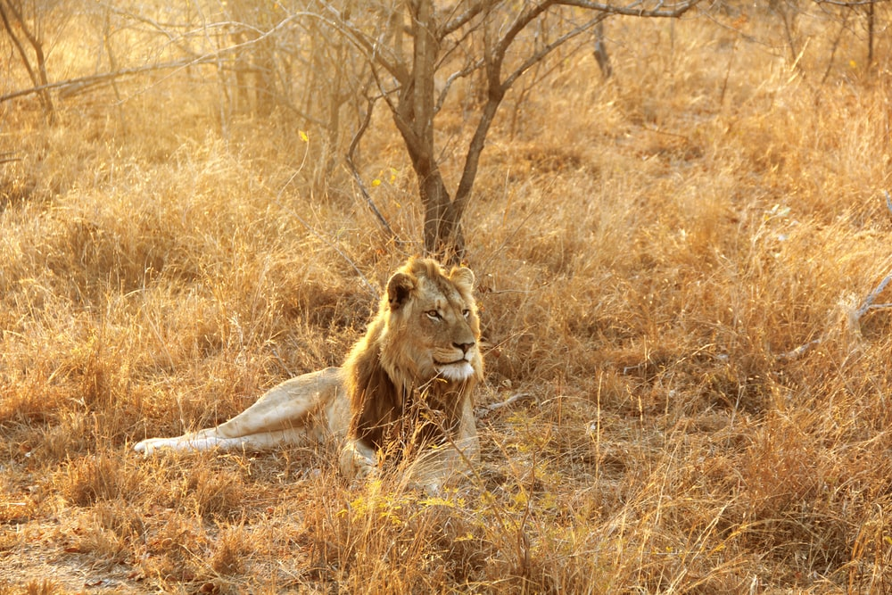 lion lying at the wild beside bare tree during day