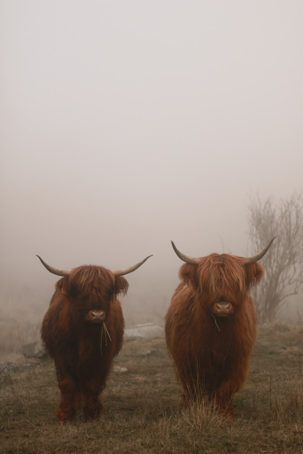 two brown bulls under foggy weather