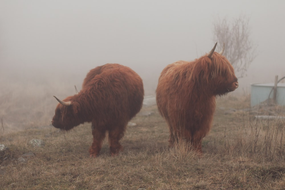 two brown yaks