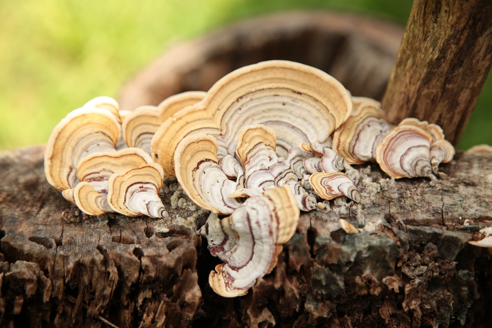 brown and white bracket fungi on wood