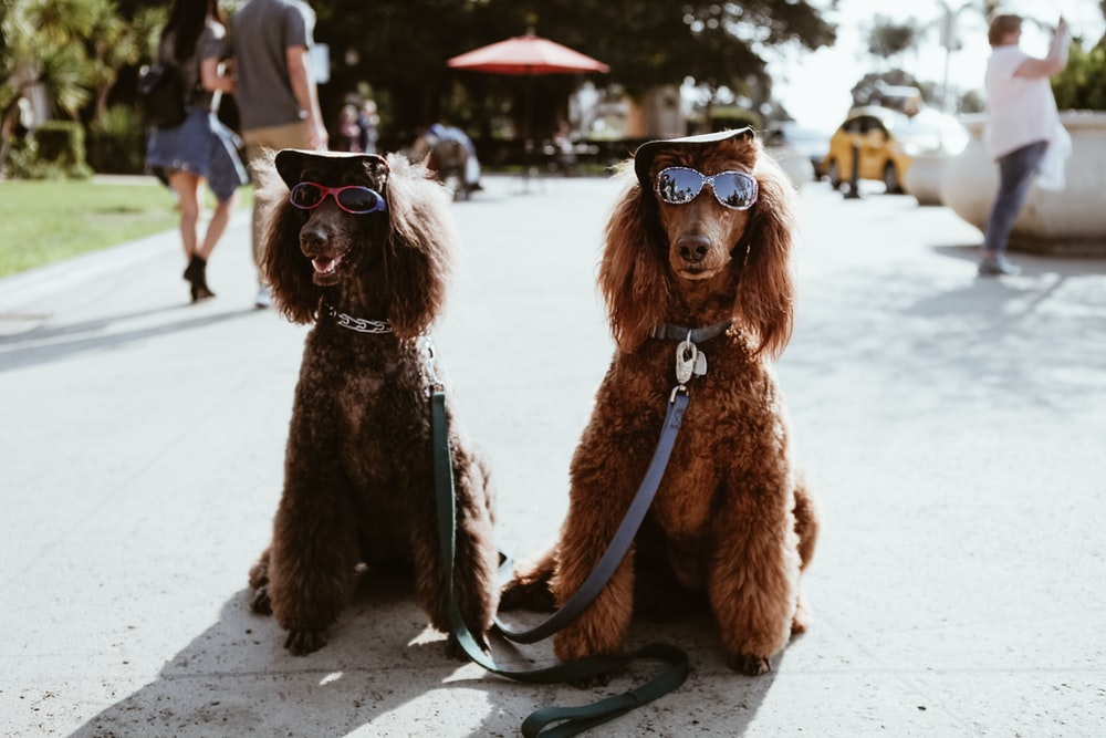 two brown poodles wearing sunglasses