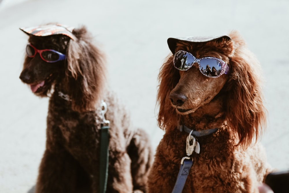 two brown poodles with sunglasses
