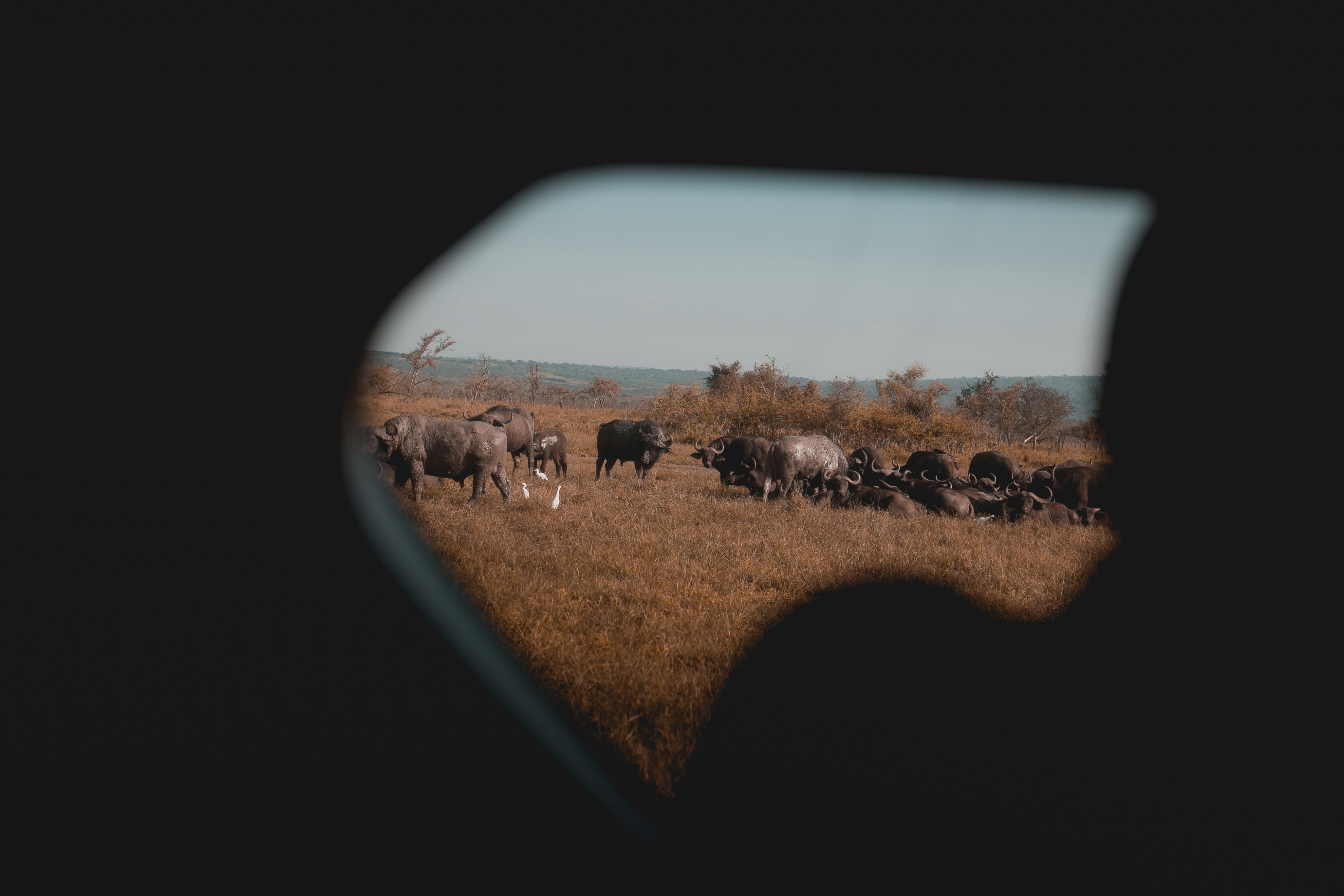 herd of buffalo photography