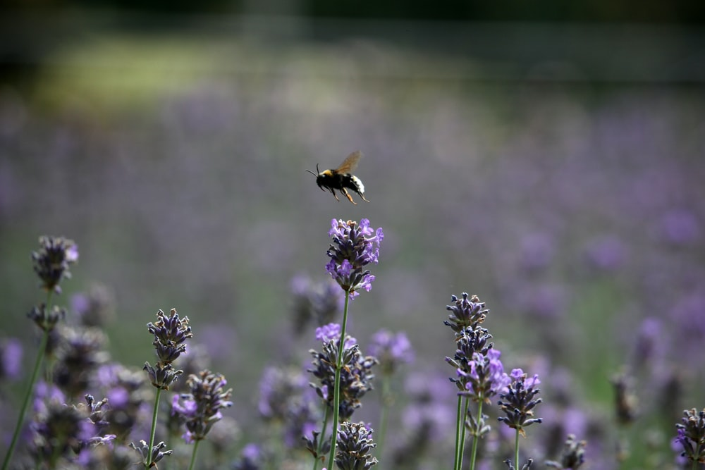 bee above purple-petaled flower field