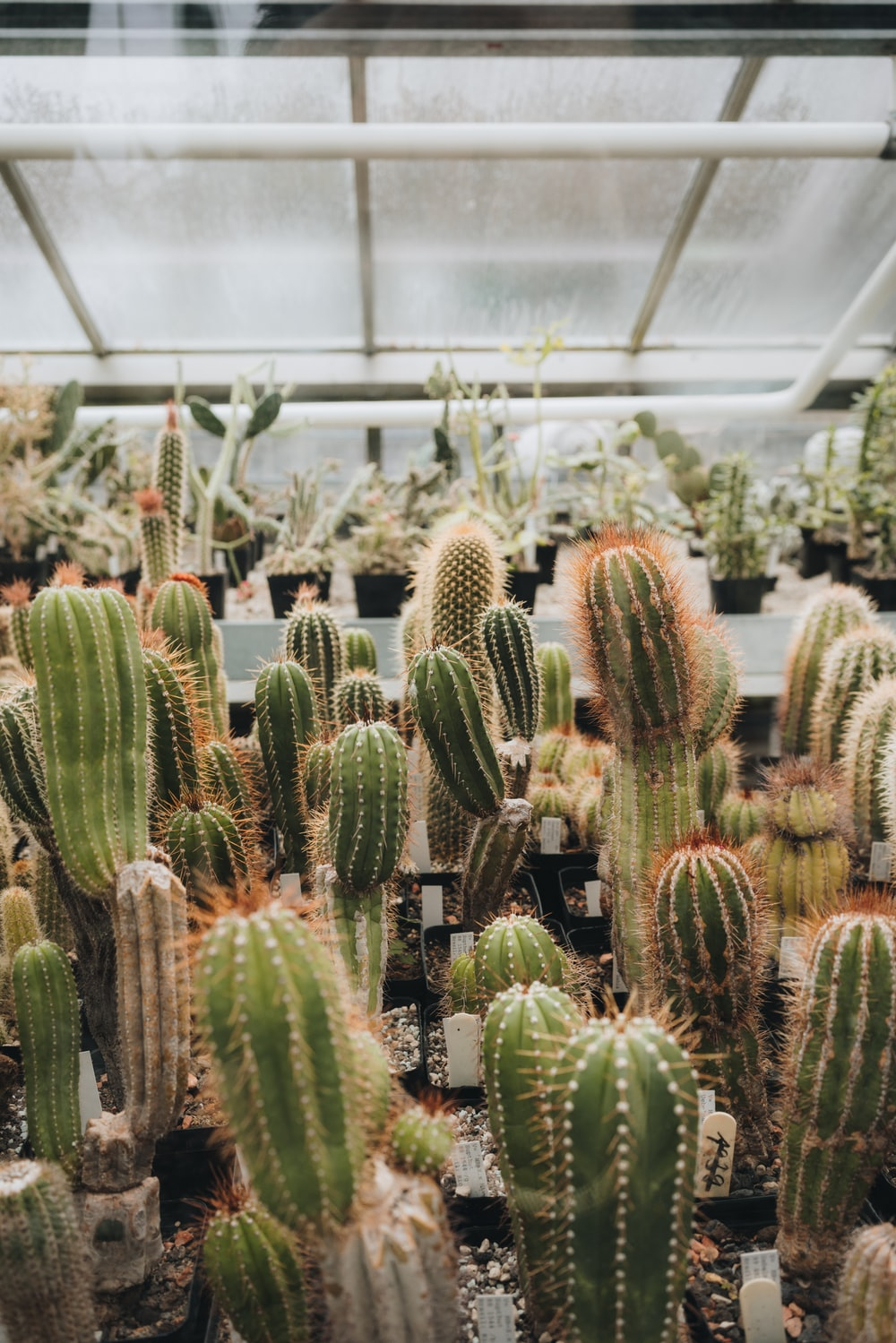 cactus plants inside greenhouse