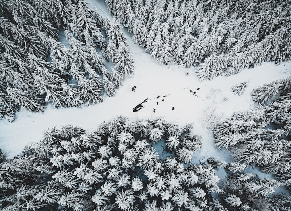 snow covered pine trees during day