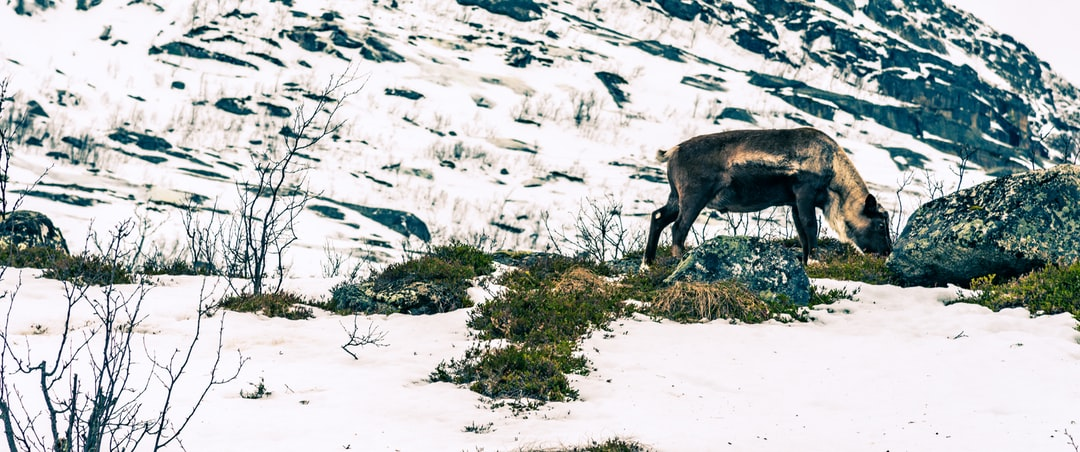 In France, it is sheep that cross the road, in Norway it is reindeer :)