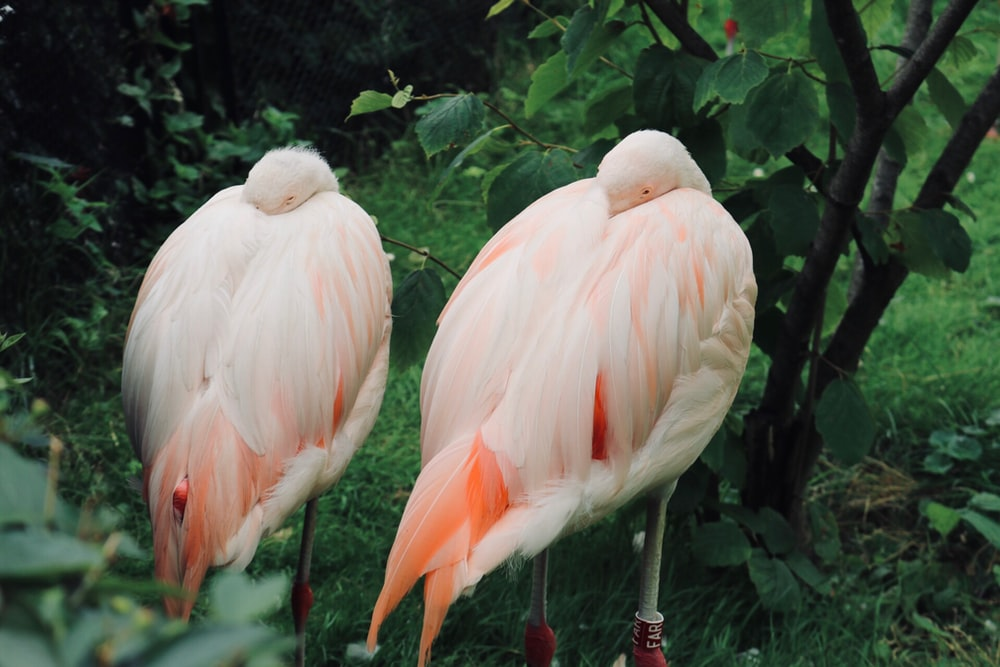 two white flamingo birds during daytime