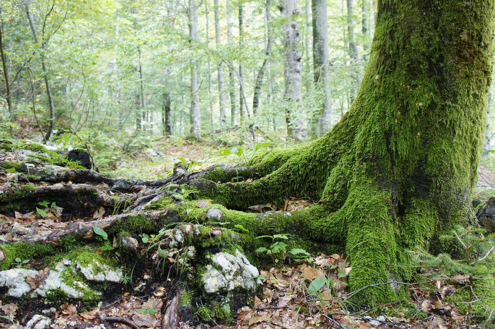 moss covered tree roots and trunk in woods