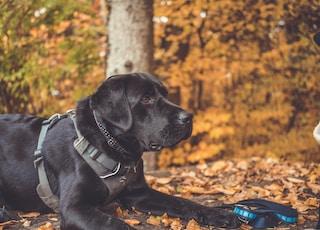 black Labrador retriever on ground