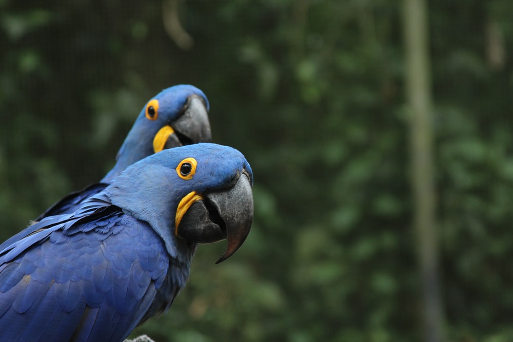 selective focus photography of two blue-and-yellow parrots