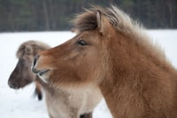 Wind, ice and snow - Icelandic horses enjoy being outdoor during Winter.