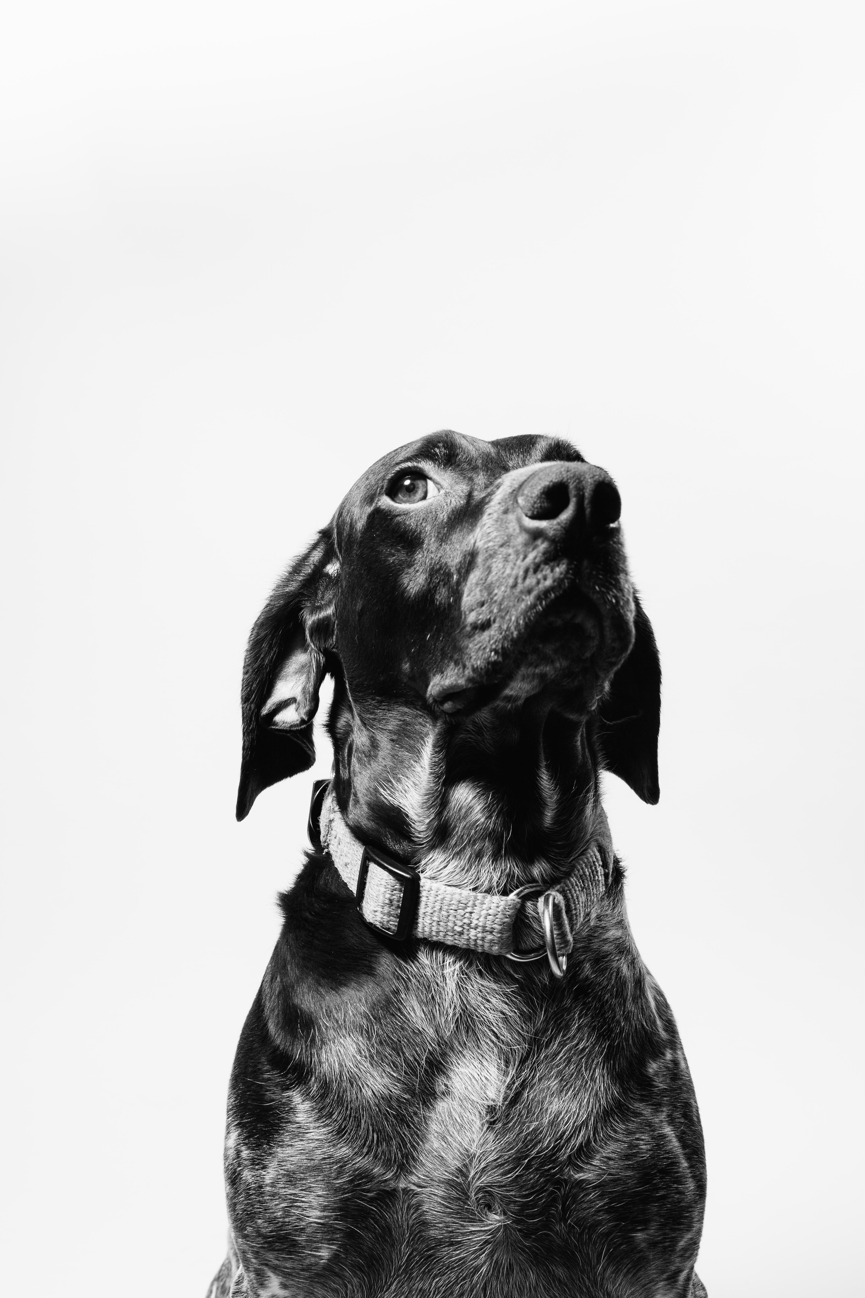black and white short coat dog