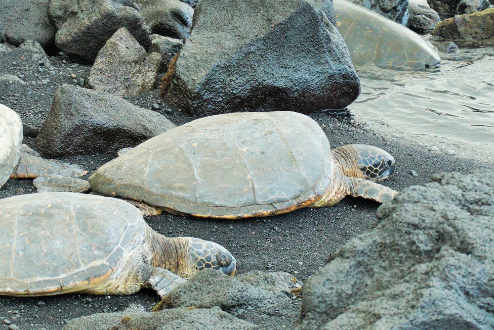 two brown turtles near water