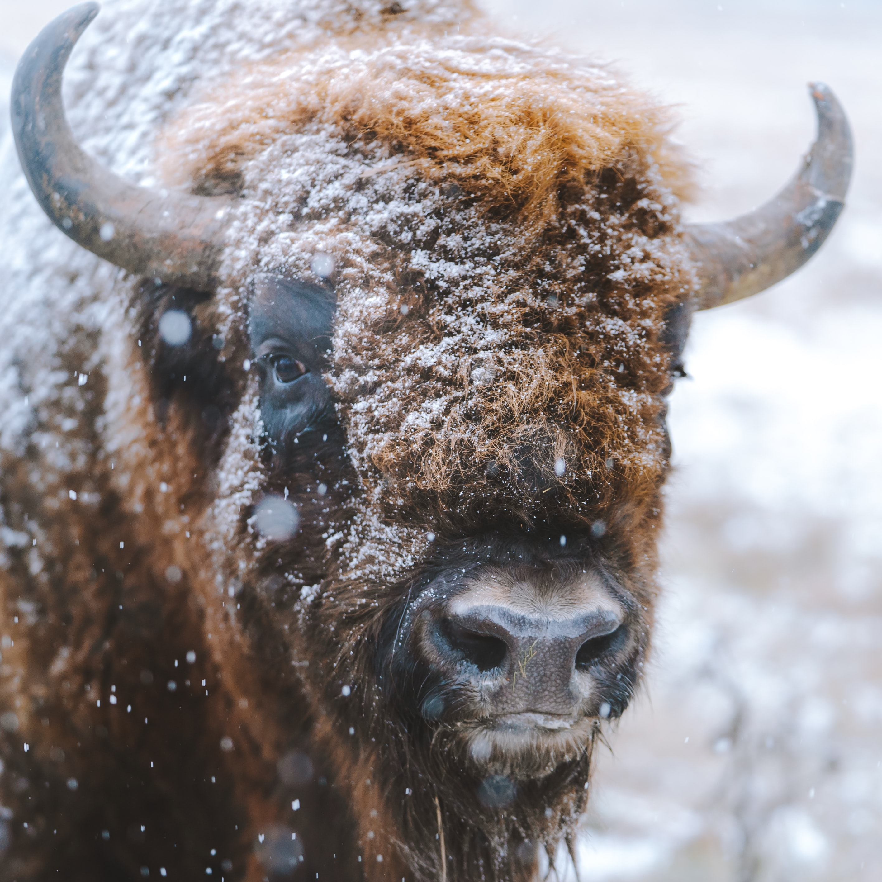 selective focus photography of bison