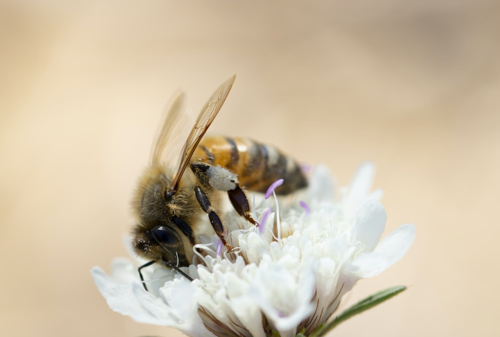 honey bee perching on white cluster flower in closeup photography