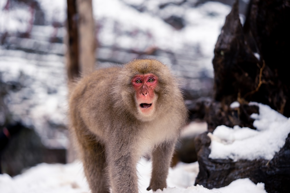 Japanese Macaque on snow ground
