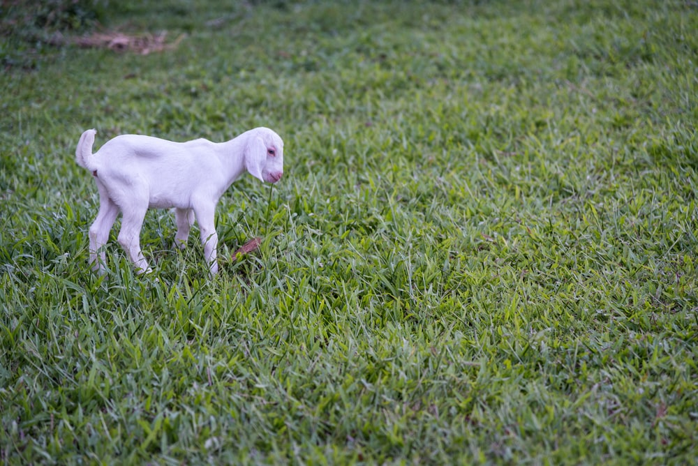 goat's kid playing on the grass