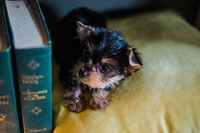 long-coated brown and black puppy lying on stomach on green textile beside book
