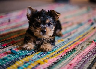 short-coated tan and black puppy close-up photography