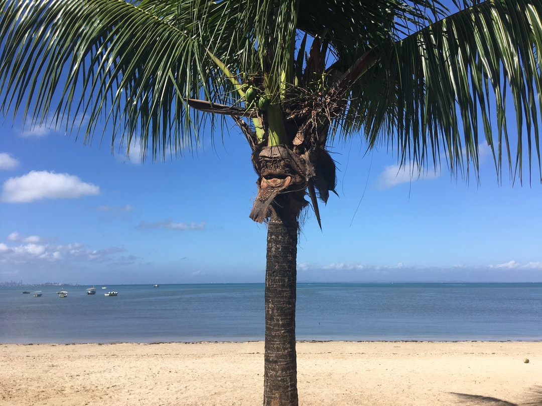 Coconut tree on the shore of the bay sea, called Bay of All Saints that bathes the city of Salvador, Bahia, Brazil.