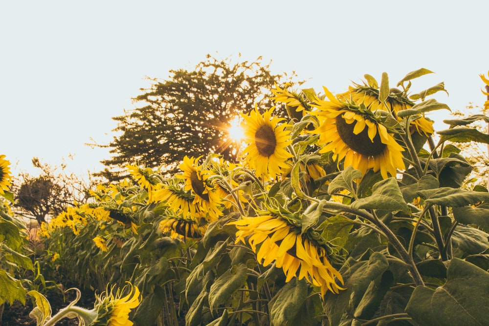 selective focus photography of sunflower field