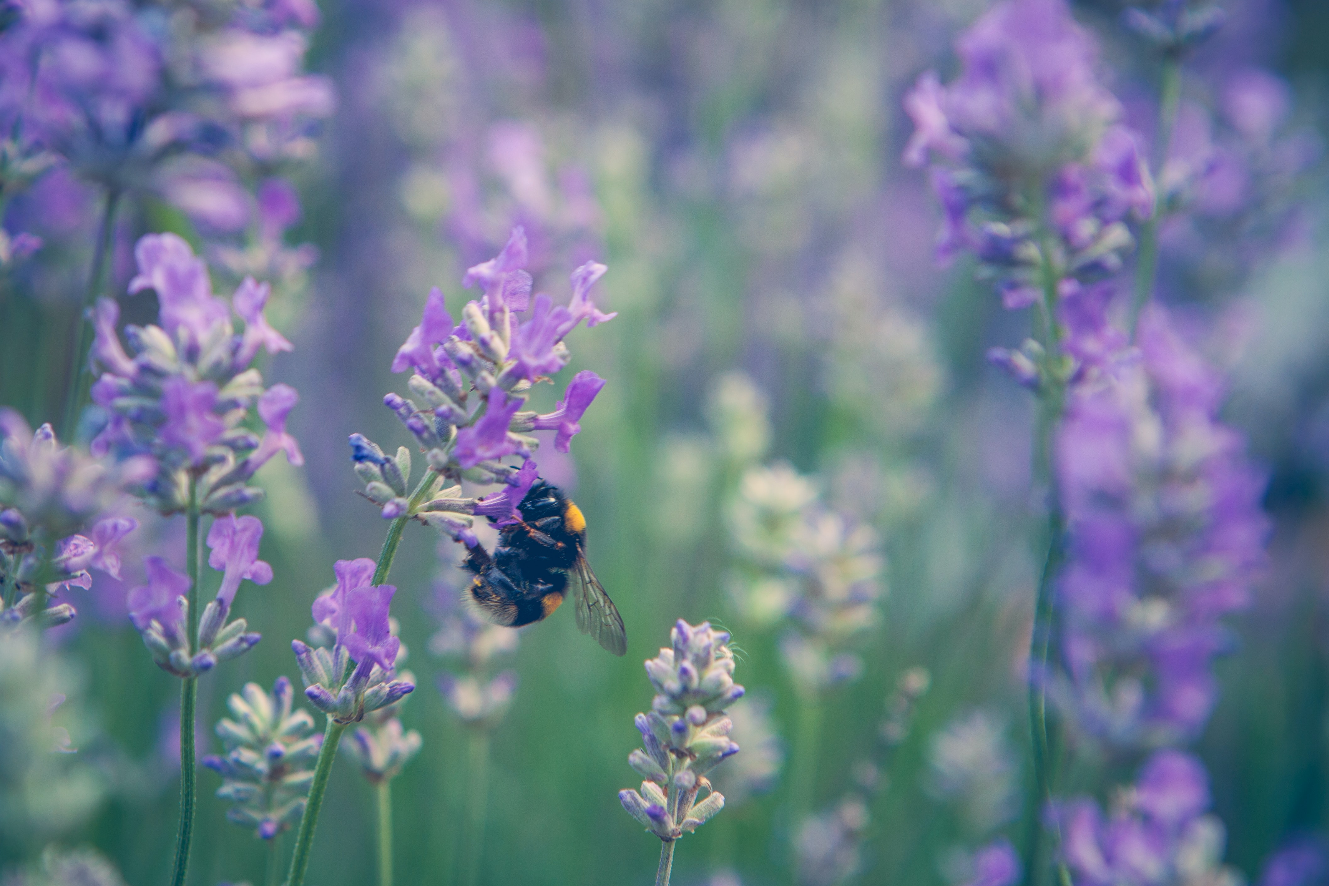 black and yellow bumble bee perched on purple lavender flower