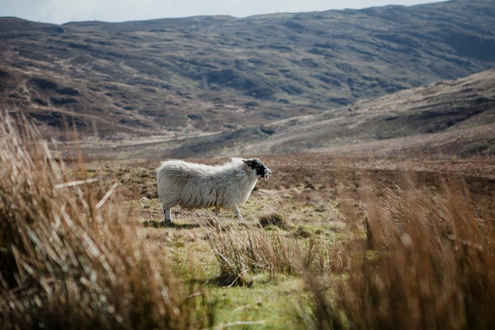 white lamb standing on ground