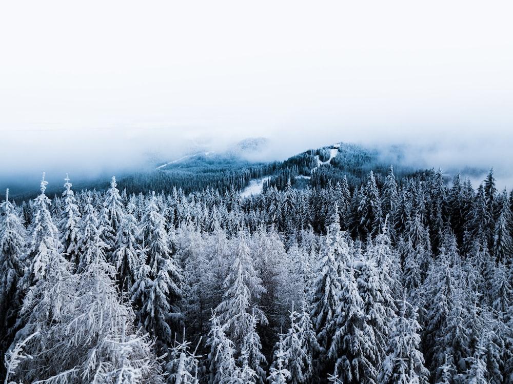 snow-coated pine tree
