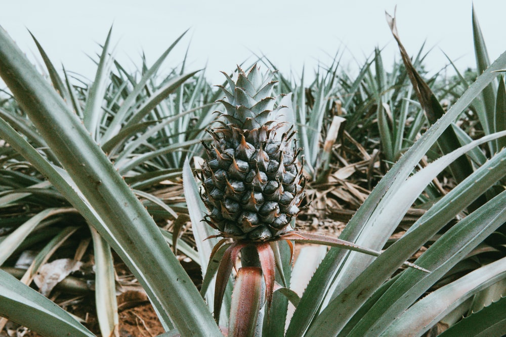 green pineapple during daytime