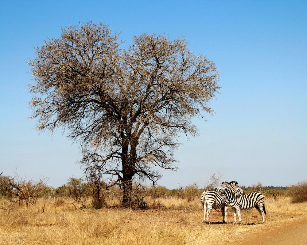 two zebras beside leafless tree