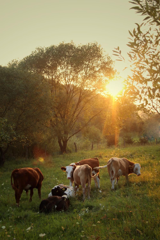 herd of cattle standing on green grass