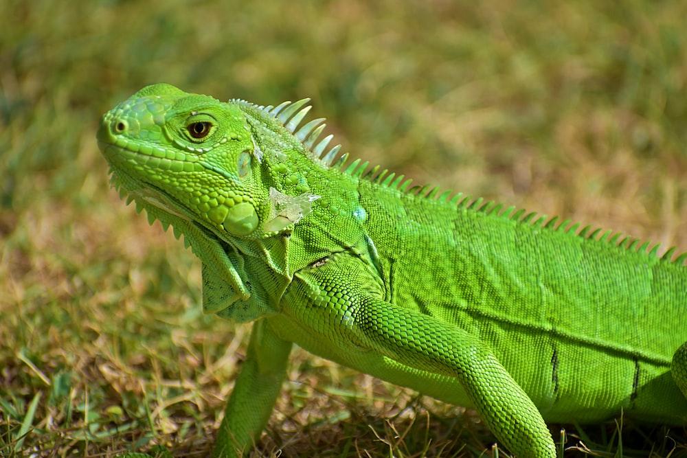 green bearded dragon in green field