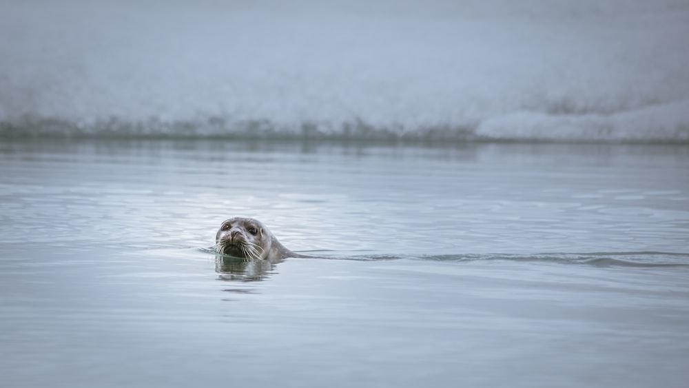 sea lion swimming