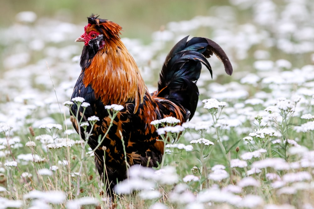 rooster on white flower field during daytime