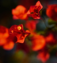 red-petaled flowers in selective focus photo