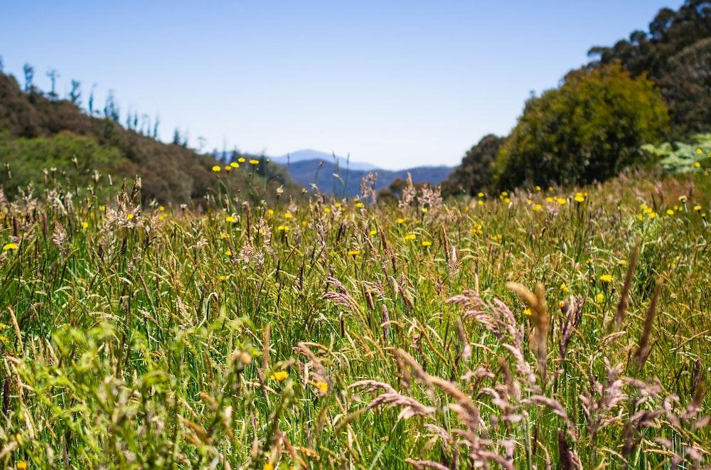 landscape photography of wheat field under calm blue sky