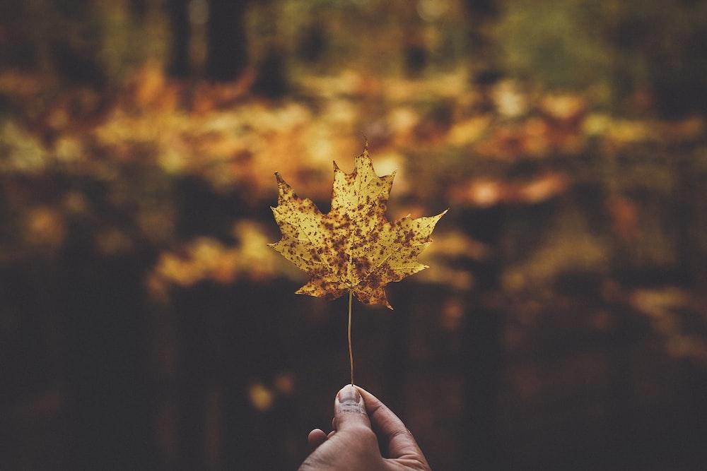 macro photography of yellow maple leaf