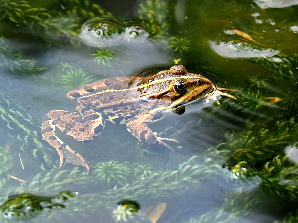 brown frog in water