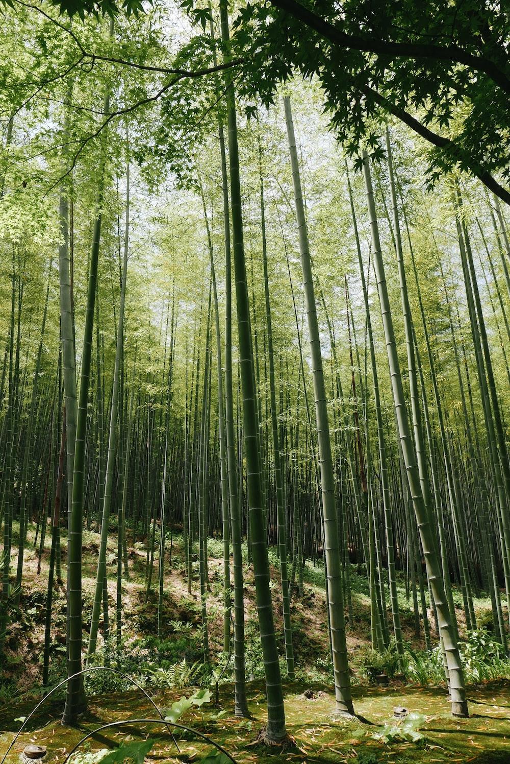 bamboo grass field