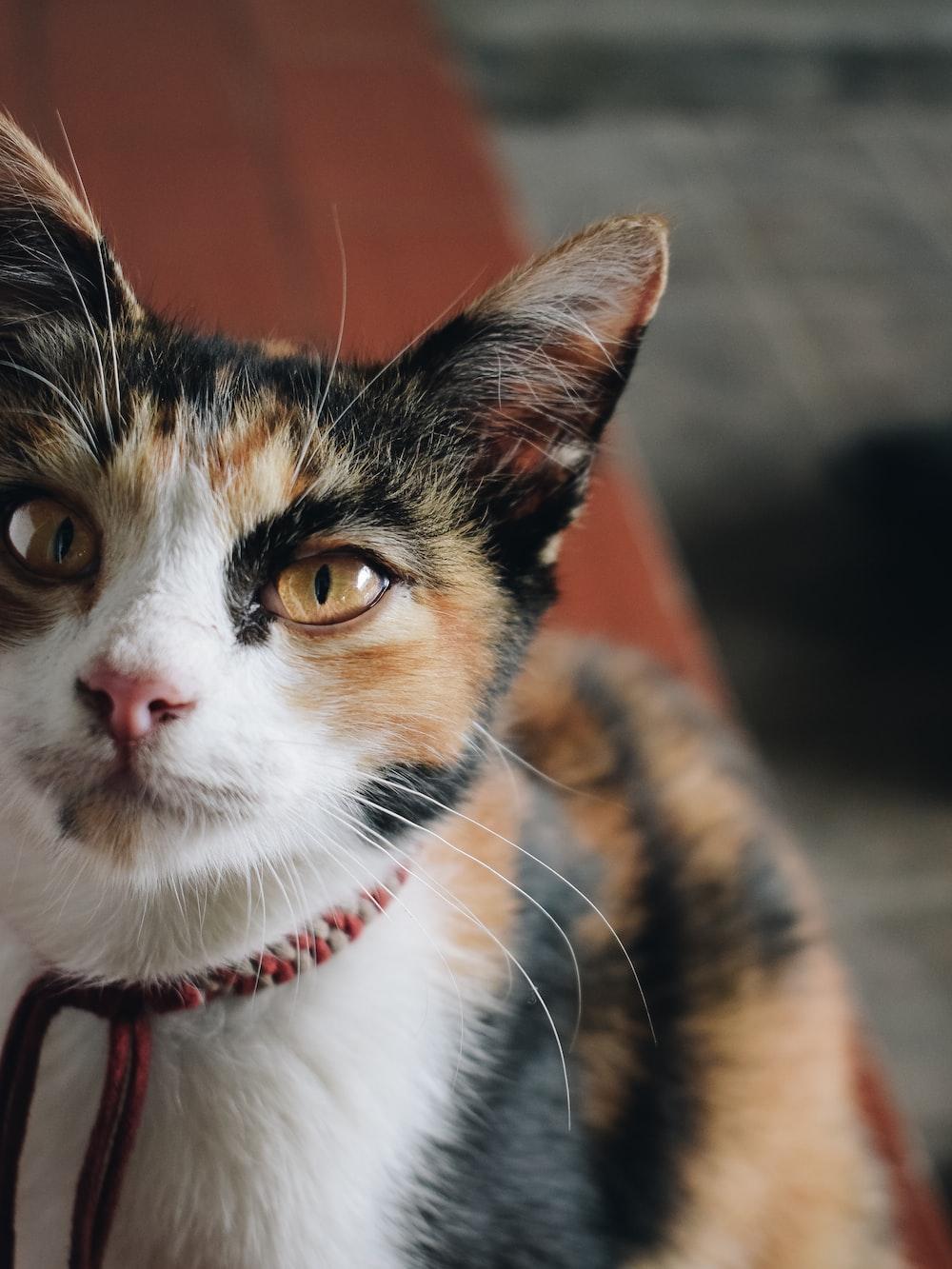 tortoiseshell cat close-up photo