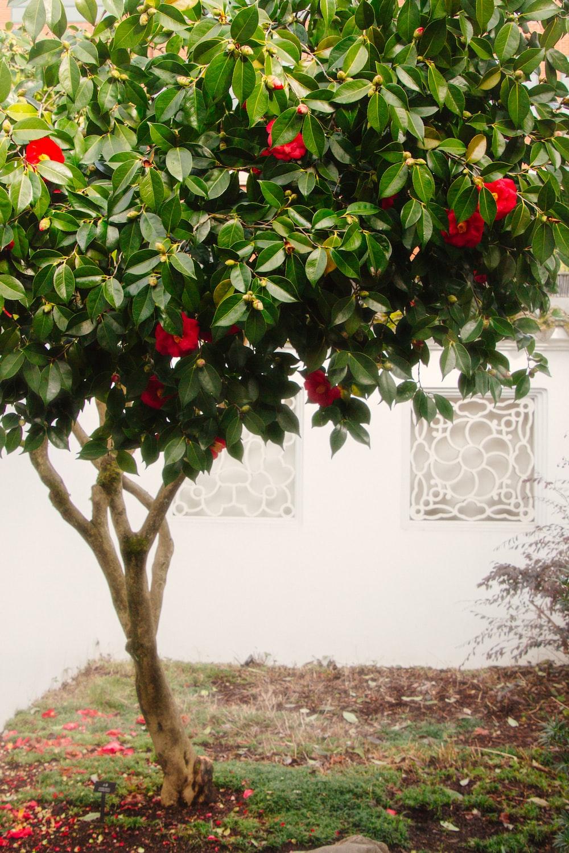 red flowering tree near wall
