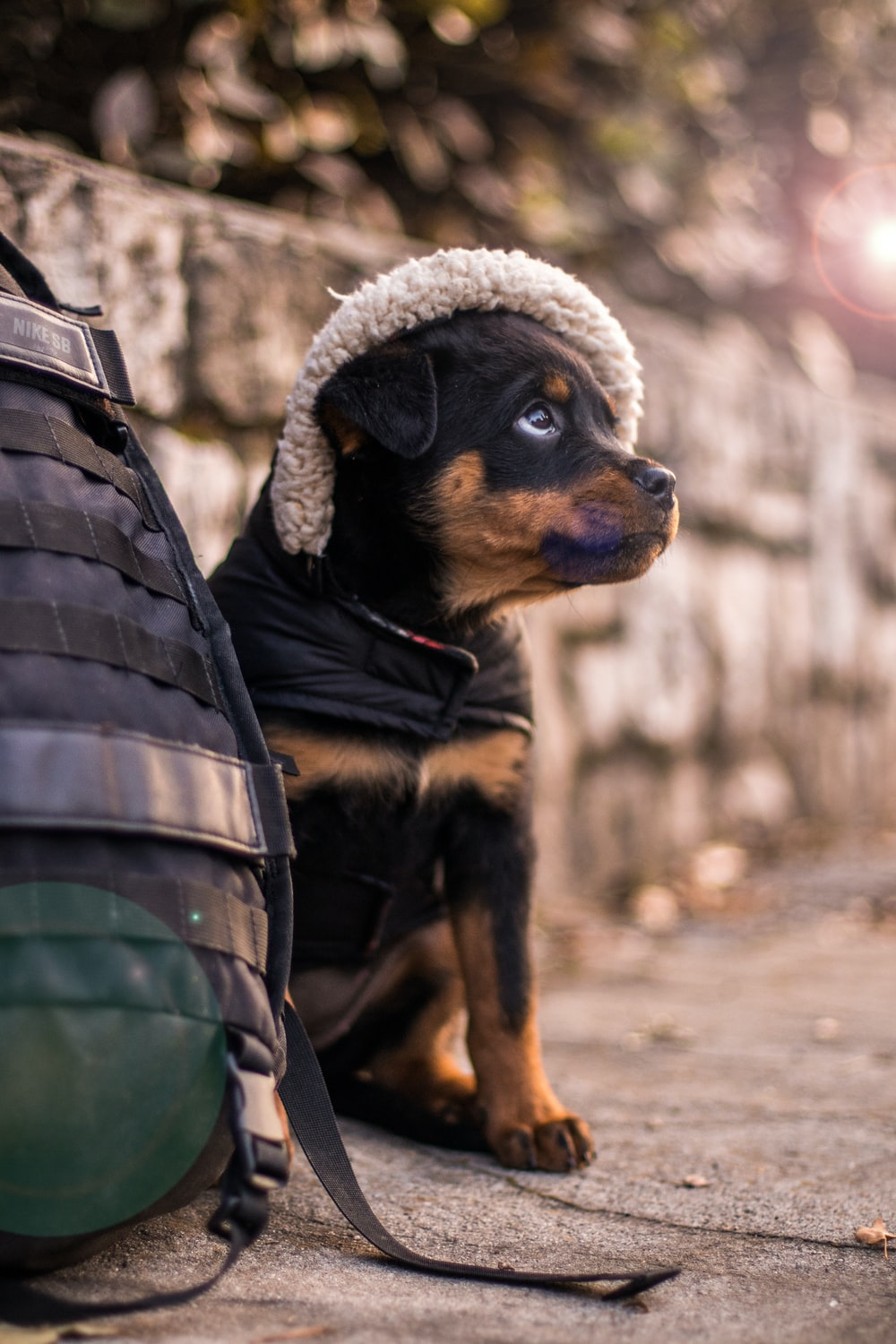 selective focus photography of black and tan Rottweiler puppy beside bag